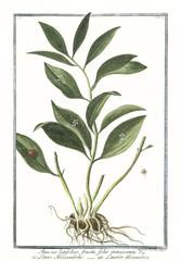 Plakat Old botanical illustration of Ruscus latifolius fructu folio innascente. By G. Bonelli on Hortus Romanus, publ. N. Martelli, Rome, 1772 – 93