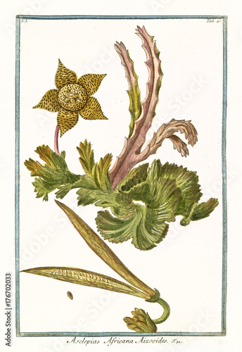 Old botanical illustration of  Asclepias africana aizooides, (Stapelia) Canvas Print
