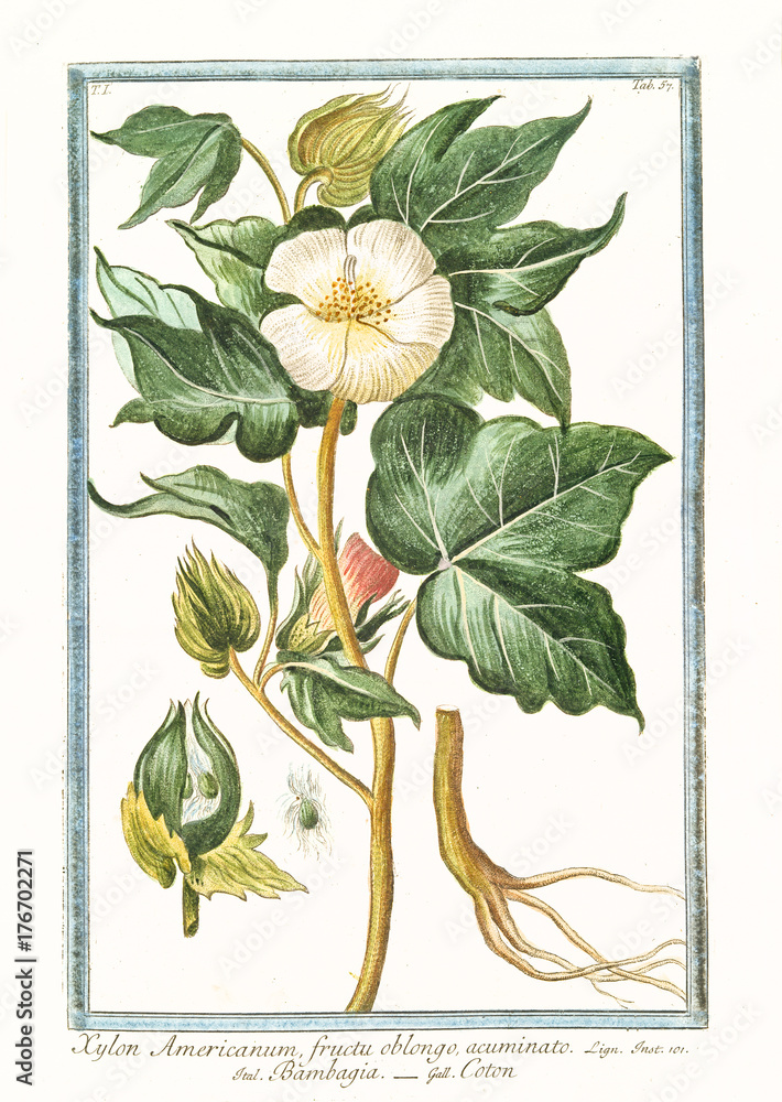 Old botanical illustration of Xylon americanum (Gossypium herbaceum). By G. Bonelli on Hortus Romanus, publ. N. Martelli, Rome, 1772 – 93