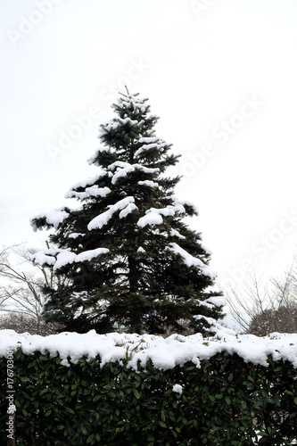 Snowy Japanese Fir Abies Firma Buy This Stock Photo And Explore