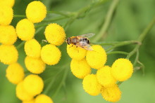 Wasp On A Mimosa Flower