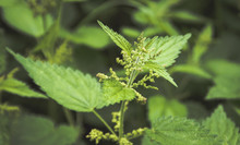 Fresh Nettle Leaves. Concept O...