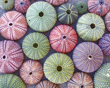 Colorful Sea Urchins On Wet Sand Beach