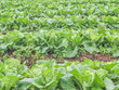 Abstract pattern or background of lettuce field.