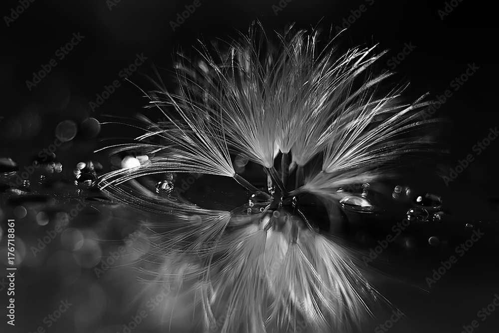 Fototapety, obrazy: dandelion seeds black background concept lightness