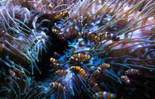 Tiny Anemone - Nemo Fish In Aq...