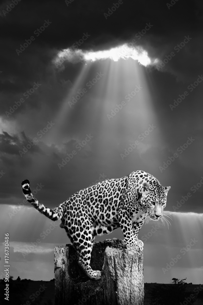 Leopard in the wild - National park Kenya