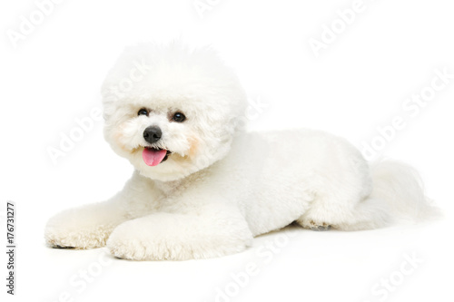 Fototapeta beautiful bichon frisee dog