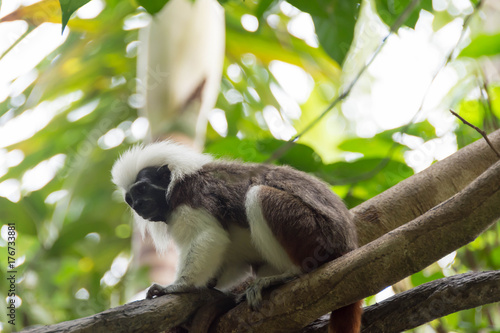 Photo  Cotton top tamarin playing on a tree