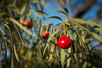 Santalum acuminatum, desert bush tucker peach quandong.  Australian native fruit