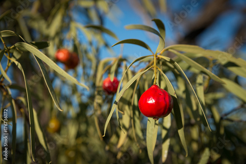Santalum acuminatum, desert bush tucker peach quandong.  Australian native fruit