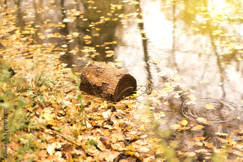 Valokuva  Floating Log with Autumn Leaves in the old pond