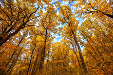 Autumn Trees In Deciduous Forest To Watch In The Top On A Blue Sky
