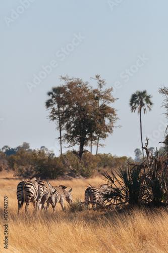 Canvas Prints Zebra Zebra
