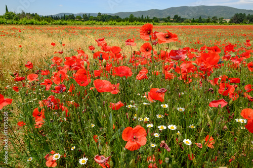 Champ Des Fleurs Sauvages Coquelicots Marguerites Au Printemps Buy This Stock Photo And Explore Similar Images At Adobe Stock Adobe Stock