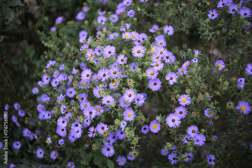 Photo Bunch of Purple Aster Flowers