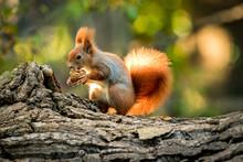 Squirrel Animal In Natural Env...
