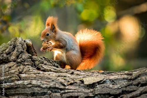 Spoed Foto op Canvas Eekhoorn Squirrel animal in natural environment