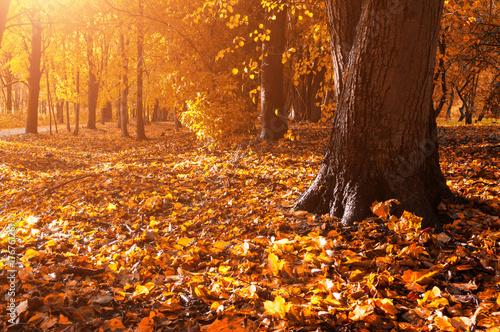Zdjęcie XXL Jesień krajobraz las. Spasione jesienne liście obejmujące ziemi i las jesienią drzew