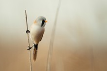 Bearded Tits Sitting On A Cane On Beautiful Background.