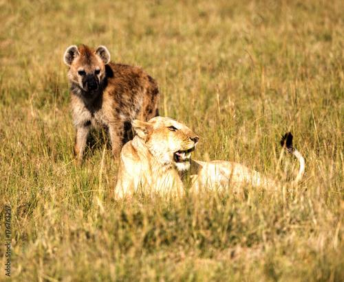 Poster Hyène Wild lions on Safari