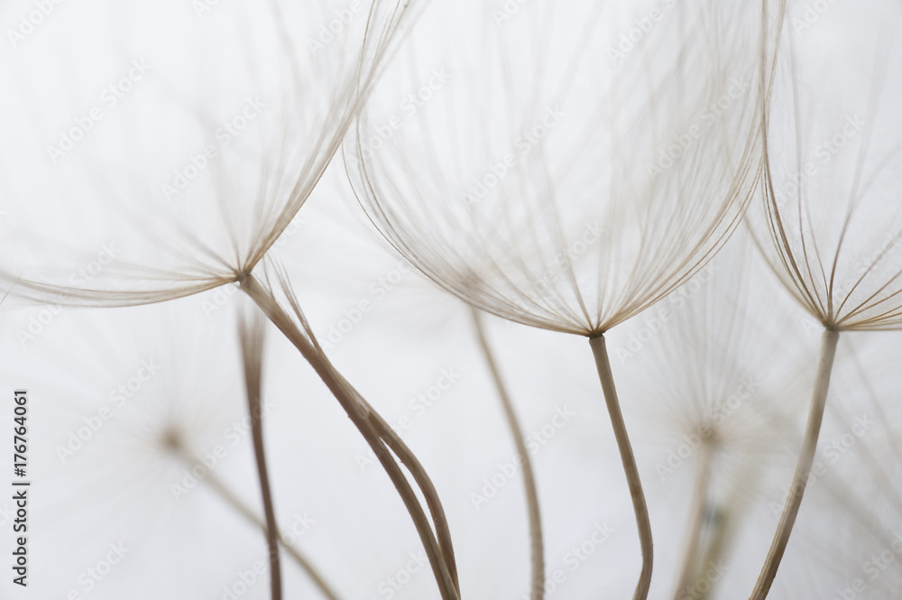 Fototapety, obrazy: Close up macro image of dandelion seed heads with delicate lace-like patterns, on the Greek island of Kefalonia.