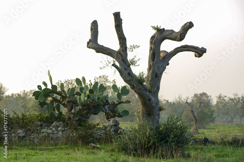 Tuinposter Olijfboom Olive trees dying for annoying xylella in Salento - Italy