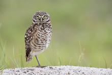 Burrowing Owl Standing On One Leg Near The Burrow In Florida