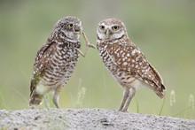 Burrowing Owls With Prey Near ...