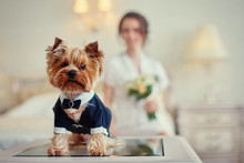 Terrier Dressed As A Groom In ...
