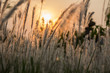 Imperata cylindrica(cogon grass) with evening sun