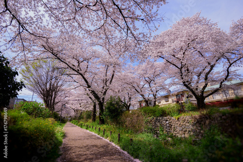 Photo Cherry Blossom at  Tokyo Japan .