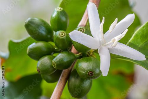 cerises vertes et fleur de caféier