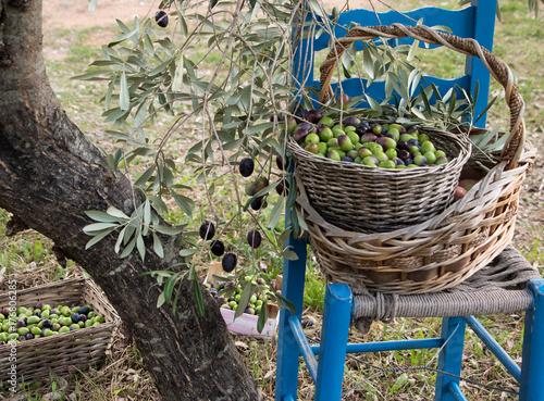Beginn der Olivenernte
