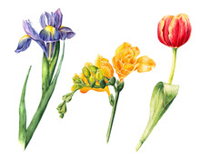 Hand Drawn Iris, Fleur-de-lis And Tulip Painting, Watercolor Illustration Isolated On White Background. Isolated Hand Drawn Botanical Illustration Of Red Tulip And Purple Iris, Fleur-de-lis Flowers