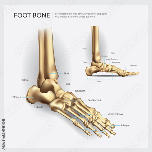 Foot Bone Anatomy Vector Illustration - Buy this stock vector and ...