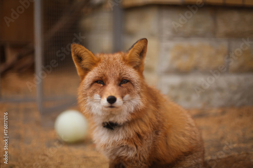 Valokuva  лиса в зоопарке