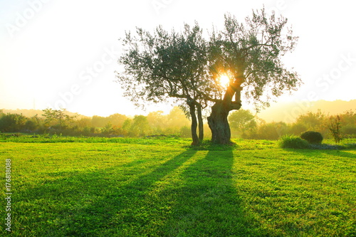 La pose en embrasure Oliviers Olive tree on sunset