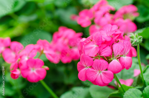 Photo Pink geranium flower blossom in a garden