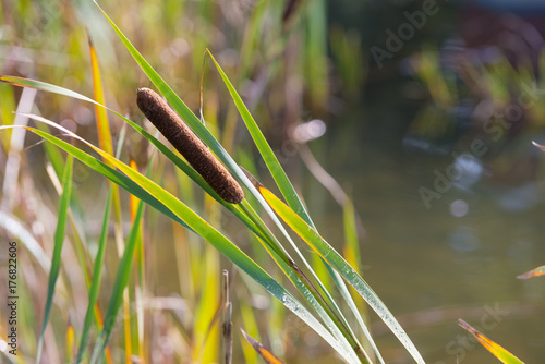 cattail at pond Fototapeta