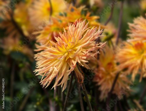 Flower dahlia Emmaus  in the garden