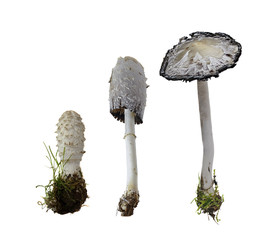 Shaggy Ink Cap on white Background  -  Coprinus comatus (O.F. Mull.) Pers., 1797