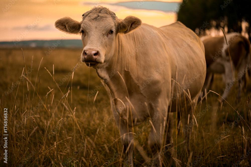 Fototapeta Cow in sunset