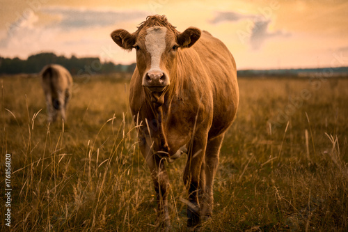 Tuinposter Koe Cow in sunset