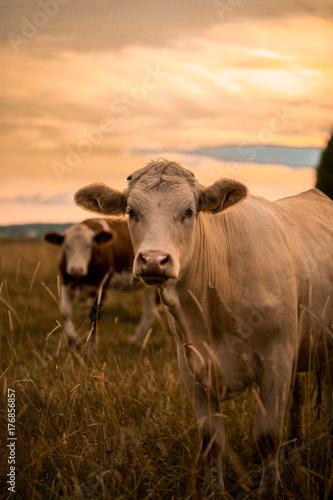 Fotografia Cow in sunset