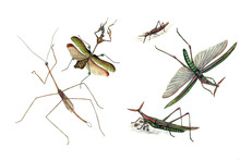 Illustration Of Grasshoppers A...
