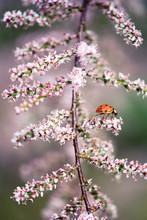 Ladybug Resting On Pink Blosso...