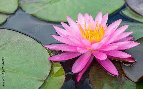Foto op Canvas Lotusbloem pink lotus flower and plant
