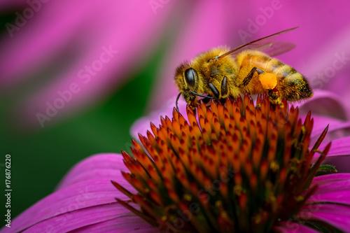 Plakat Honeybee na Echinacea Coneflower