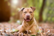 Autumn Portrait Of Yellow Terrier Dog